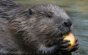 Talk - Alan Puttock on 'Beavers' @ By Zoom